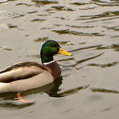 """photo """"Duck tails"""""""