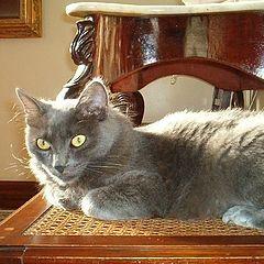 "фото ""Cat - Oscar"""