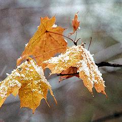 """фото """"Еще немного об осени, зиме и кленовых листьях."""""""