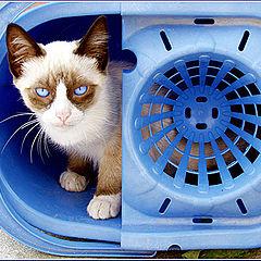 """photo """"Blue eyes cat"""""""