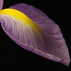 "photo ""The Iris petal"""