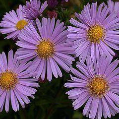 "фото ""Purple wild Chrysanthemums"""