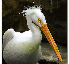 """photo """"About Dishevelled Pelican"""""""