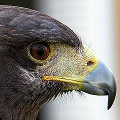 """photo """"Harris eagle"""""""