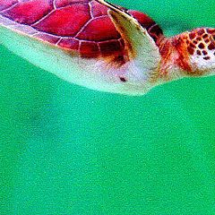 """фото """"diving baby turtle"""""""