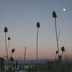 "фото ""Moon thistles"""