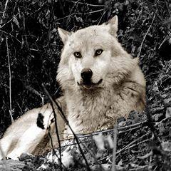 "photo ""Wolf"""