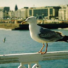"photo ""Seagull...just seagull"""