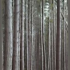 """фото """"standing in the pines"""""""