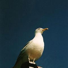 """photo """"seagull-eagle"""""""