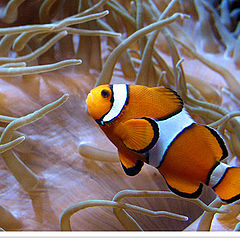 "photo ""Clown-Fish"""