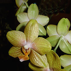 """фото """"Orchids in my livingroom"""""""
