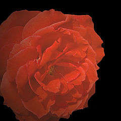 """photo """"Floating Rose"""""""