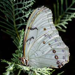 "photo ""White Morpho Polyphemous"""