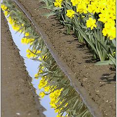 """фото """"Upside Daffodils"""""""