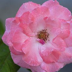 """photo """""""" Romantic Rose """""""""""