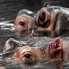 "photo ""Hippo Hangout"""