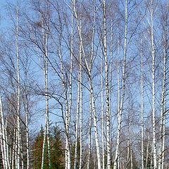 "photo ""April birches"""