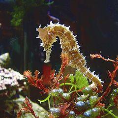 """фото """"spiny seahorse"""""""