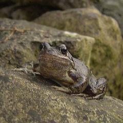 """photo """"Frog"""""""