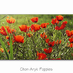 "photo ""Chon-Aryk Poppies"""