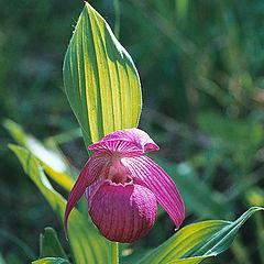 """фото """"Зацвели уж давно Орхидеи в лесу."""""""