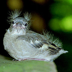 """фото """"a very young baby bird"""""""