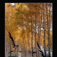"фото ""Yellow Birch"""