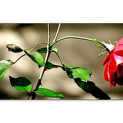 "photo ""Winter Rose"""