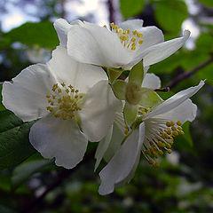 "фото ""jasmine in blossom"""