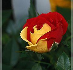 """фото """"Rose ..."""""""