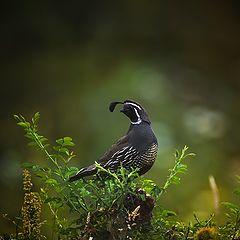 "фото ""California quail"""