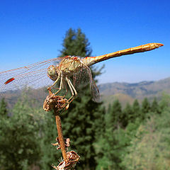 "photo ""Dragonfly"""