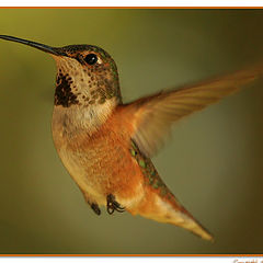 "photo ""Humming Bird"""