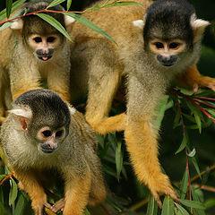 "photo ""3 Monkey`s"""