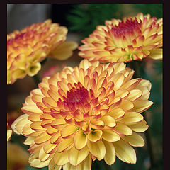 "photo ""chrysanthemum"""