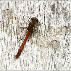 "фото ""Wood and Dragonfly"""