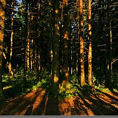 """фото """"Summer morning forest."""""""