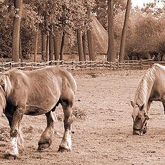 "фото ""Belgian Drafthorses"""