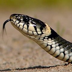"фото ""The grass-snake"""