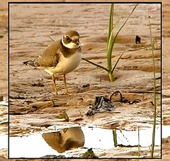 "фото ""Evening on the beach-2 (Ringed Plover)"""