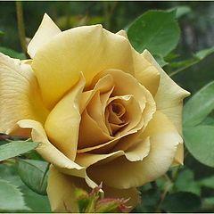 "фото ""Butterscotch rose"""