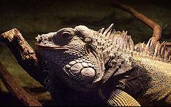 """photo """"... Iguana ..."""""""