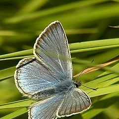 """фото """"Blue butterfly"""""""