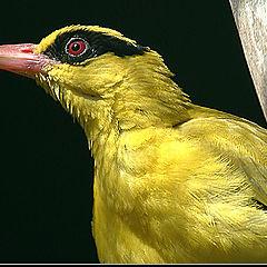 "фото ""Yellow bird"""