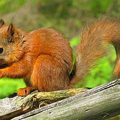 "фото ""Squirrel"""