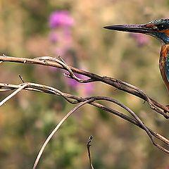 """фото """"Kingfisher"""""""