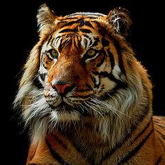 "фото ""Grace of a Tiger"""
