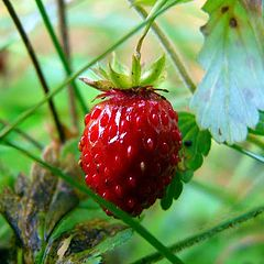 "photo ""wild strawberry"""