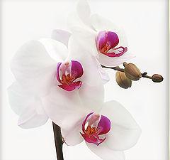 "photo ""White orhid"""